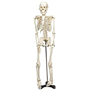 Mr. Thrifty Skeleton, an anatomically accurate skeleton done in plastic by American Science & Surplus