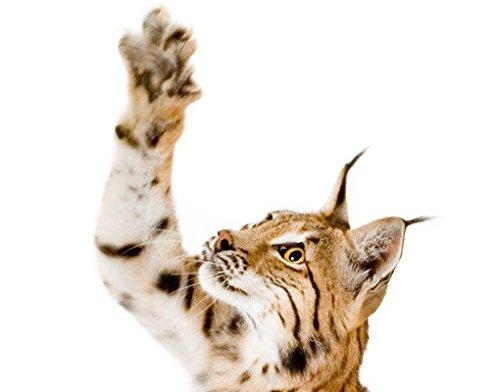 Tattoo-lynx (Wandbild Aufkleber No. 371lauert Lynx, Wandtattoo, Wandaufkleber, Tattoos, Wand Aufkleber)