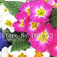 IDEA HIGH Seeds-200 pcs real primrose tarde Europa primula malacoides color de mezcla de flores de bonsai para el jardín de casa supples planta regalo para la esposa: 24