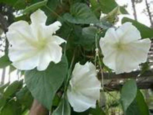 Moonflower Vine (MOONFLOWER VINE SEEDS! RIESIGE DUFT WHITE FLOWERS!)