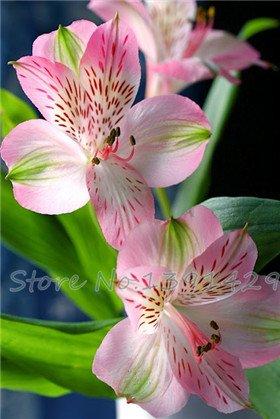 graines de lys, les graines de lys de parfum bon marché, 20 couleurs Rare Lily Flower Garden Plant - Mélange de variétés différentes 100pcs 16