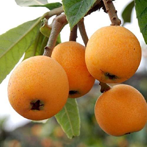 Keptei Samenhaus- 10 Korn Exotisch Loquat Frucht Saatgut (Eriobotrya japonica) Wollmispel Obstsamen Nispero winterhart saftig sehr süß