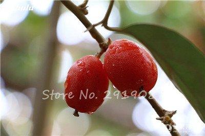 Nouveaux 2017 Fruit Lait de chèvre Graines Tropical Noir bio Brin Arbre de lait de chèvre Bonsai Fruit, Grand jardin Plantes vivaces 100 Pcs 12