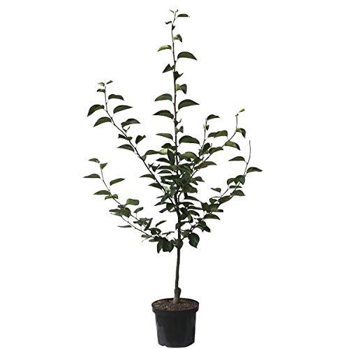 Müllers Grüner Garten Shop Nashi Nijisseiki, Asienbirne Apfelbirne als Buschbaum, 150-170 cm 10 Liter Topf, Unterlage: Sämling -