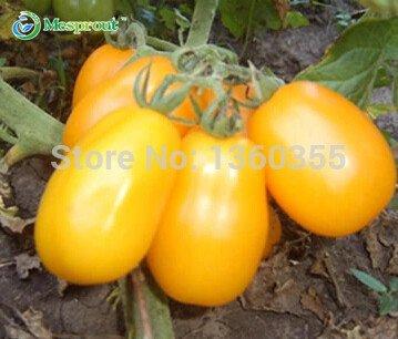 Tomatensamen, Früchte und Samen von gelben Cherry-Tomaten, Milch gelbe Tomaten, etwa 100 Teilchen