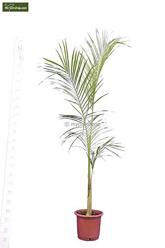 Königspalme - Roystonea regia - Gesamthöhe 240+cm Topf Ø 34cm