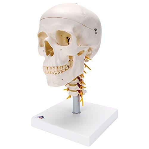 3B Scientific Menschliche Anatomie - A20/1 Klassik-Schädel auf Halswirbelsäule mit magnetischen Verbindungen, 4-teilig