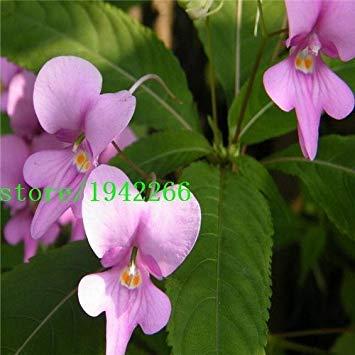 Semi plat firm-semi impatiens balsamina white garden semi balsam perenne fiore, pacchetto originale, 100 semi/pacchetto, giardino jewelweed rose bal