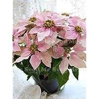 Pianta Stella Di Natale Prezzo.Virtue Zlking 100 Pz Poinsettia Euphorbia Pulcherrima Bonsai Fiore