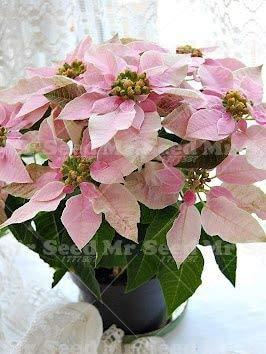 green seeds co. 100 pezzi bonsai pianta stella di natale, euphorbia pulcherrima, piante da fiore piante rare, balcone in vaso piante: 3