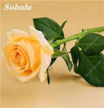 100 pièces / sac Couleur Rare Rose Graines Outdoor Bonsai Graines de fleurs vivaces Fleurs Graines Plante en pot pour jardin Décor 12