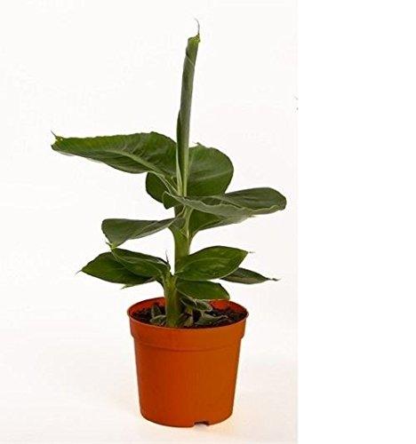 musa-tropicana-plant-dwarf-banana-tree-in-a-12cm-pot