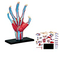 Anatomy of Human Hand Puzzles, Anatomy of Hand Models, Assembly of Muscles, Medical Models, 10.6 * 6.9 * 1.5cm