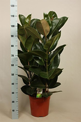 Ficus elastica Robusta, Albero gomma 100cm hoch ,27cm Grandezza vaso