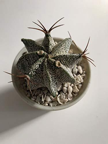 PLAT FIRM GERMINATIONSAMEN: Astrophytum Ornatum, Topfgröße 2,5 '