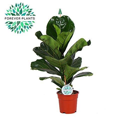 BOTANICLY | Plantas naturales | Altura: 90 cm | Ficus