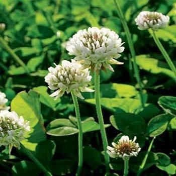 3lbs-white-dutch-clover-by-discount-lawn-care