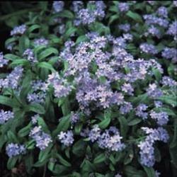 Galleria fotografica Fiore - Kings Seeds - Confezione Multicolore - Nontiscrodardime - Myosotis - Chiaro Blu