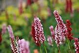 Bistorta affinis 'Donald Lowndes' - 3 Pflanzen im 0,5 lt. Vierecktopf