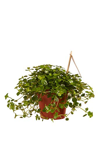 BOTANICLY | Zimmerpflanze - Kanonierblume | Höhe: 15 cm | Pilea depressa Sao Paulo