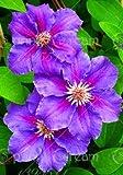 1pcs arrampicata lampadine clematis, piante da giardino clematis albero bulbi, bulbi di fiori rari impianto perenne per vaso di fiori per la casa gar 13