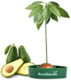 AvoSeedo Kit Regalo da Giardinaggio per Avocado – Gadget Decorazione Casa/Uso Interno o Esterno/Idea Regalo Donna Originale, Idea Regalo Uomo Originale e Regali Natale Originali (Verde)