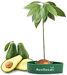 AvoSeedo das Besondere Garten Geschenke - Pflanzen Sie Ihren Eigenen Avocadobaum. Kleine Geschenk für Frauen, Männer & Freundin/Oder als Geburtstagsgeschenk für Mama/Klein Dekoration Modern