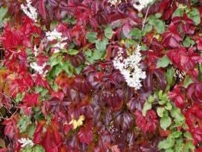 wilder wein 39 engelmannii 39 schnellwachsende kletterpflanze von native plants garten. Black Bedroom Furniture Sets. Home Design Ideas