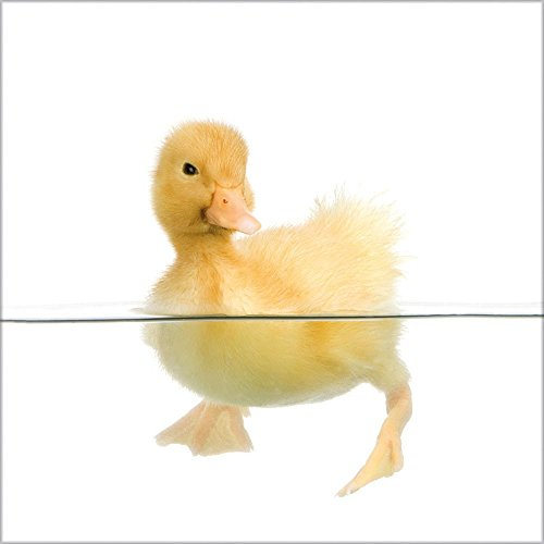 artissimo, Glasbild, 30x30cm, AG8033A, Little Duck II (Duck Art Glass)