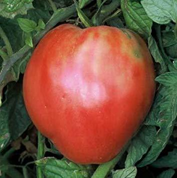 TOMHY Samen-Paket: Keim Seeds PLATFIRM-30 Samen von ungarischen Herz - Tomaten Oxhearts -