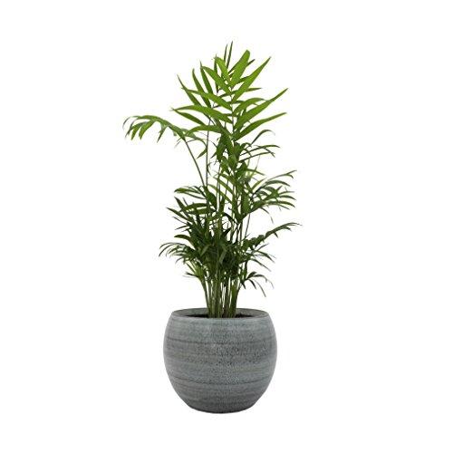 """Dominik Blumen und Pflanzen, Zimmerpalme im Topf """"Cresto Eisblau"""" Zimmerpflanze, Grün, 40 x 20 x 20 cm"""