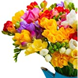 Urban Gardens Freesia Flower Bulbs (Mixed Colored Bulbs) - Pack of 10