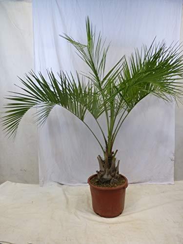 [Palmenlager] Butia capitata - Geleepalme - 160/180 cm - dicker Stamm 30-40 cm / -15°C Frost