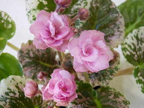 HATCHMATIC Rose of Sharron- Double 10 graines COMBINÉ S/H Tres Belle ET Hardy!