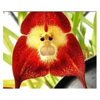 en soldes 100pcs phalaenopsis graines d 39 orchid e papillon orchid e rare belle maison de. Black Bedroom Furniture Sets. Home Design Ideas