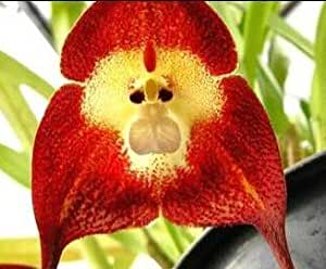 orchid monkey face red affengesicht orchidee rot 20. Black Bedroom Furniture Sets. Home Design Ideas
