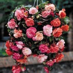 Cottage Garden Bulbs: 10 x Pendula Hanging Basket Begonia Bulbs/Tubers - Mixed Colours - Free UK P & P