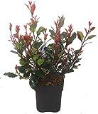 Photinia Fraseri 'Little Red Robin' - Kleine Glanzmispel winterharter immergrüner kleinbleibender Strauch-17 cm Topf, Höhe 40 cm