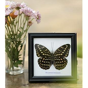 The Common Archduke Schmetterling (Lexias pardalis) | Entomologie Taxidermie Innendekoration | 12 x 12 cm