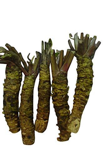 Waldkiefer (Pinus sylvestris) 15 Samen (Winterhart) auch Gemeine Kiefer, Rotföhre, Weißkiefer oder Forche genanntgenannt !