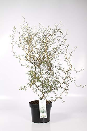 Sophora prostrata Little Baby 35 cm Schnurbaum Little Baby