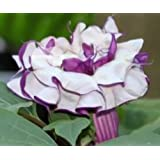 Datura metel purple - trompeta de ángel - 15 semillas