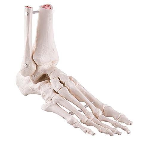 3B Scientific - Anatomie humaine - Squelette du Pied avec