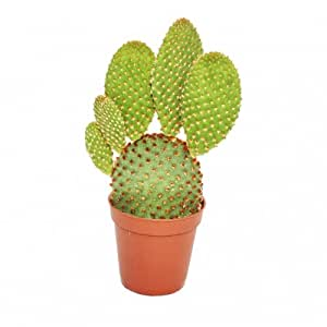Opuntia microdasys rufida - Red-spined prickly ears cactus - in 8.5 cm