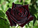Portal Cool 20 Black Baccara Hybrid Seltene Rosen-Samen, Exotische True Blood Rose Blumensamen