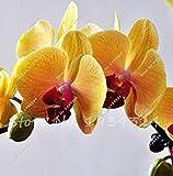 Fash Lady 30PCS orchidÃe-graine graines de fleurs pour la maison jardin Phalaenopsis...