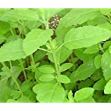 Plant House Live Rama Tulsi - Holy Basil Religious Holy Plant (with POT)