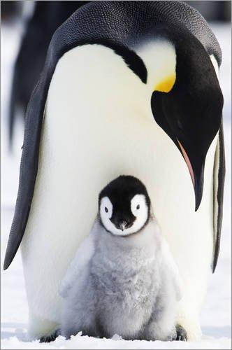 aiserpinguin mit Küken von Daisy Gilardini / Design Pics - hochwertiger Kunstdruck, neues Kunstposter (Pic Von Pinguin)