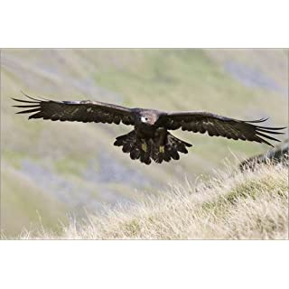Posterlounge Acrylic print 180 x 120 cm: Golden eagle, Aquila chrysaetos, flying over moorland, captive, UK by Ann & Steve Toon/Robert Harding