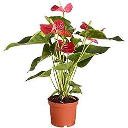 Dehner Große Flamingoblume - Anthurie, rot-farbene Blüten, ca. 50-60 cm, Zimmerpflanze